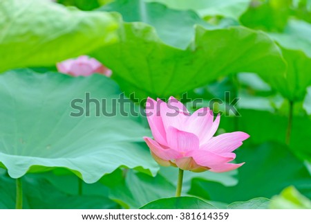 beautiful lotus flower in blooming on early morning.