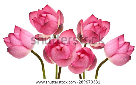 beautiful lotus flower isolated on white - stock photo