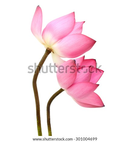 beautiful Lotus flower, isolated on white background - stock photo