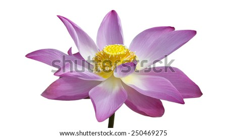 Beautiful lotus flower over white background
