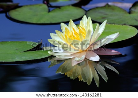 Beautiful lotus flower with reflection - stock photo