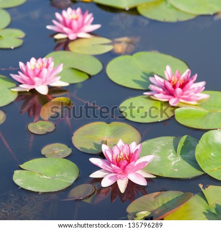Beautiful lotus in the pond in morning - stock photo