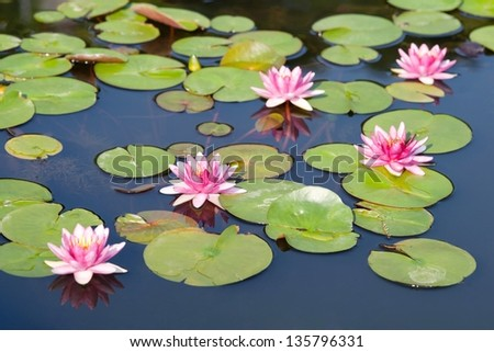 Beautiful lotus in the pond in morning