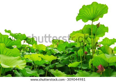 Beautiful lotus leaf background in the pond - stock photo
