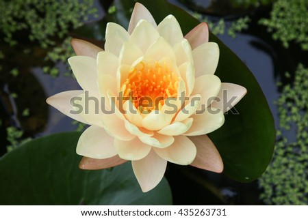 Beautiful lotus, Mangkala Ubol Water Lily Blooming orange water lilys in the pond - stock photo