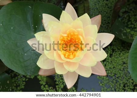Beautiful lotus, Mangkala Ubol Water Lily Blooming orange water lilys in the pond - stock photo