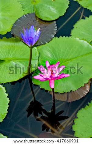 beautiful lotus on water closeup