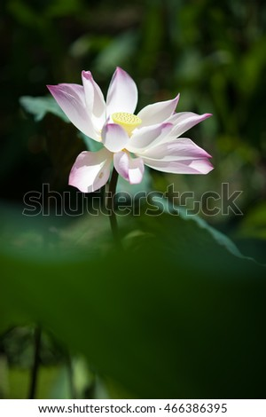 Beautiful  lotus or Bright water lily flower.