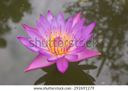 Beautiful lotus, Purple Lotus flower and Lotus flower plants. - stock photo