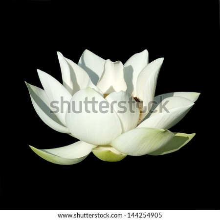 Beautiful lotus(Single lotus flower isolated on black background) - stock photo
