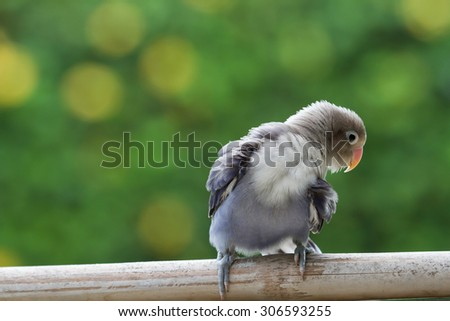 Beautiful lovebird cleaning up himself - stock photo