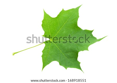 Beautiful macro photo of maple leaf, isolated on white background - stock photo