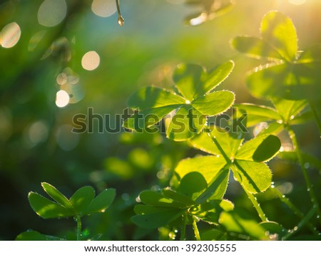 Beautiful macro shot of clover plant growing in garden. Shallow DOF. - stock photo