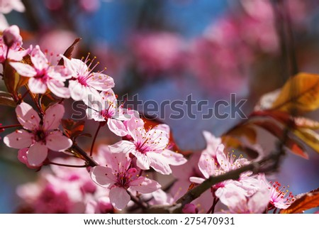 Beautiful macro shot of pink cherry blossoms in early May - stock photo