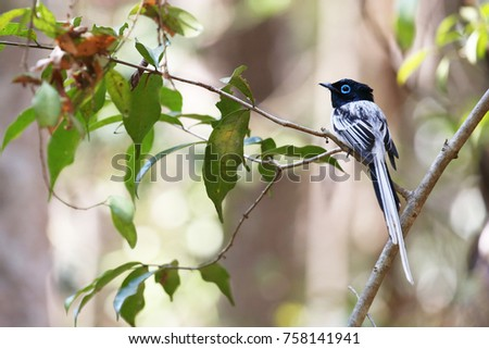 Beautiful Madagascar Paradise Flycatcher male