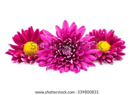beautiful magenta chrysanthemum on a white background - stock photo