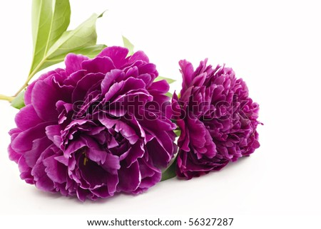 Beautiful magenta Peonies on a white background with copy space, great for Mother's Day