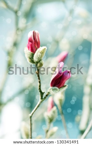 beautiful magnolia blossoming over blurred nature background. spring flowers. selective focus - stock photo