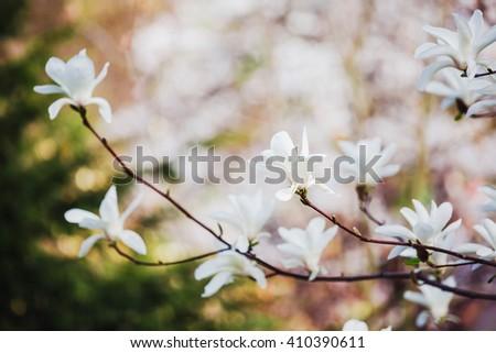 Beautiful magnolia flowers  - stock photo