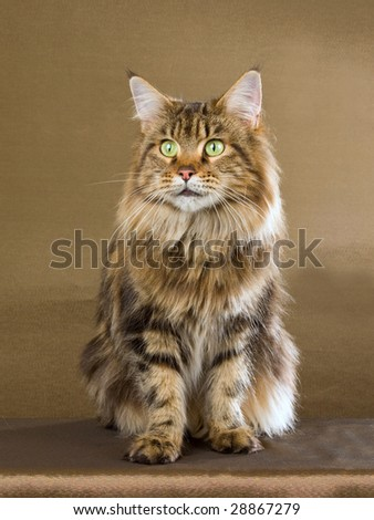 Beautiful Maine Coon brown tabby cat on bronze background - stock photo