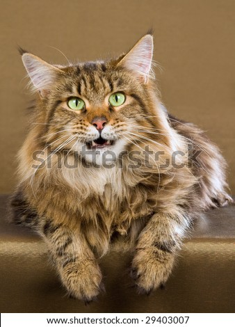 Beautiful Maine Coon brown tabby on bronze background - stock photo