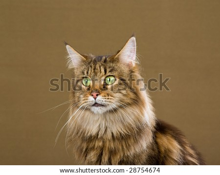 Beautiful Maine Coon brown tabby with green eyes, on bronze background - stock photo