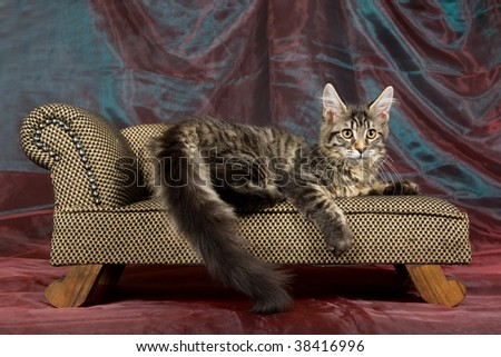 Beautiful Maine Coon cat on miniature chaise sofa couch - stock photo