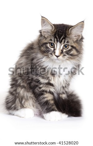 Beautiful Maine Coon kitten - stock photo