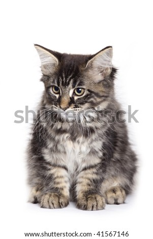 Beautiful Maine Coon kitten