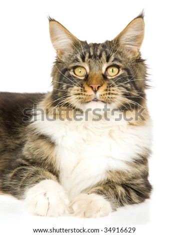 Beautiful Maine Coon on white background
