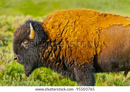 Beautiful Majestic American Buffalo roaming on the Yellowstone Prairie - stock photo