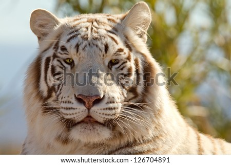 Beautiful Majestic White Tiger in it's environment