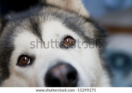 Beautiful Malamute looking up inquisitively