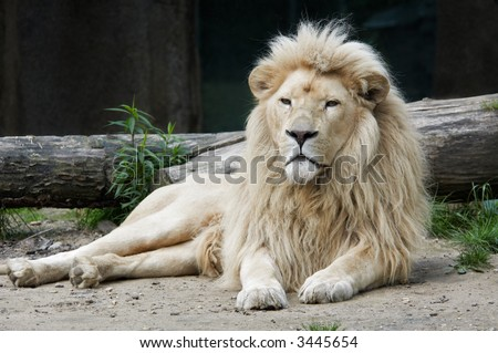 beautiful male african white lion - stock photo
