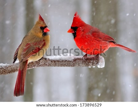 Beautiful Male and female Northern Cardinals (Cardinalis cardinalis) on a snowy day. - stock photo