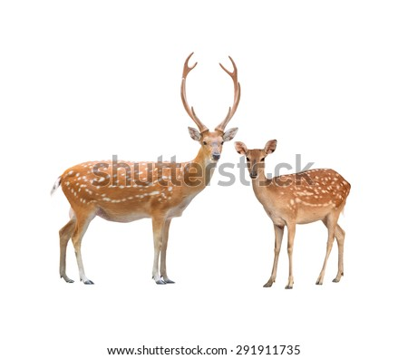 beautiful male and female sika deer isolated on white background - stock photo