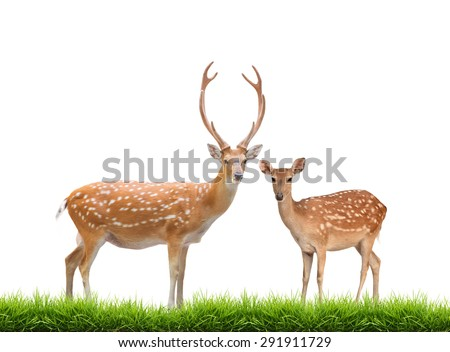 beautiful male and female sika deer with green grass isolated on white background - stock photo