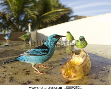 Beautiful male Blue Dacnis looking around while the female is eating banana. It's a sunny day. Close picture with wide lens. - stock photo