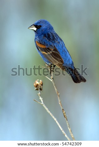 Beautiful male Blue Grosbeak (Guiraca caerulea) perched against a colorful background. - stock photo