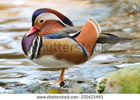 Beautiful male duck, Mandarin Duck (Aix galericulata), side profile - stock photo
