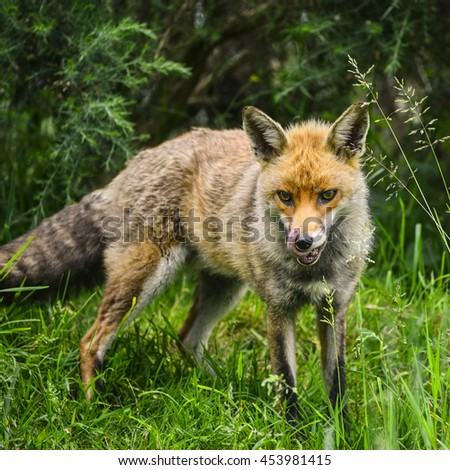 Beautiful male fox in long lush green grass of Summer field - stock photo