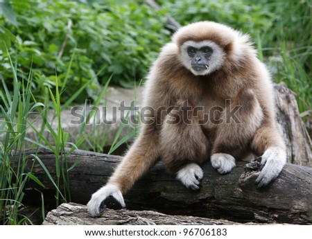 Beautiful male gibbon - stock photo