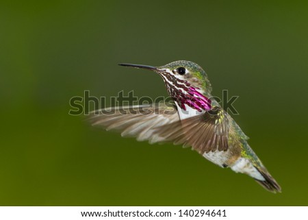 beautiful male humming bird in mid air with a natural green background - stock photo