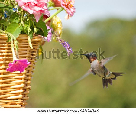 Beautiful male Hummingbird feeding on a tiny flower in a basket - stock photo
