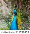 beautiful male indian peacock showing its feathers (Pavo cristatus) - stock photo