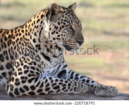 Beautiful male leopard resting on a tree log - stock photo