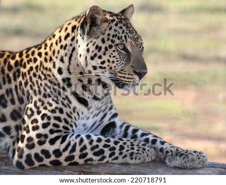 Beautiful male leopard resting on a tree log - stock photo
