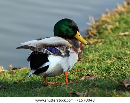 Beautiful Male Mallard Duck on the green grass - stock photo