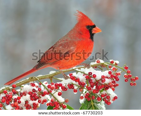 Beautiful male Northern Cardinal (Cardinalis cardinalis) resting on a snowy branch laden with red berries. - stock photo