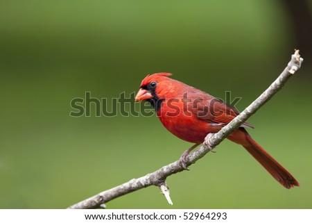 Beautiful Male Northern Cardinal sitting in bare Tree - stock photo